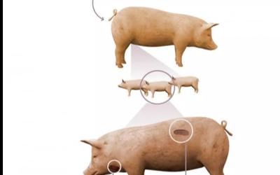 陳根:豬腎臟成功移植人體,短期具有正常功能
